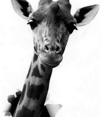 Cortecs Girafe