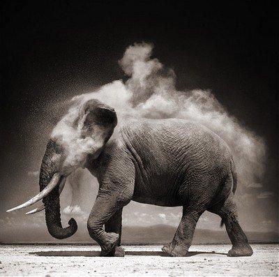 De la difficulté d'être darwinien - l'énigme pédagogique des éléphants sans défenses
